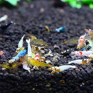 Γαρίδες Caridina
